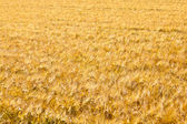 Pattern of golden field — Stock Photo