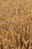 Mönster i gyllene fält — Stockfoto