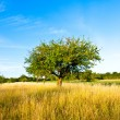 Beautiful typical speierling apple tree in meadow for the german — Stock Photo #5983083