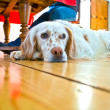 Dog lying at the wooden floor in the dining room - Stock Photo