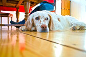 Dog lying at the wooden floor in the dining room — Stock Photo