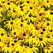 Stock Photo: Yellow cut leaved coneflower prospers in bed