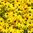 Yellow cut leaved coneflower prospers in the bed - Stock Photo