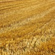 Acres after harvest are looking golden in the sun - Stock Photo