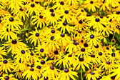 Yellow cut leaved coneflower prospers in the bed — Stock Photo