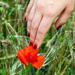 Finger with red fingernail touching blooming poppy flower — Stock Photo #6015910