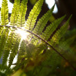 Beautiful fern in dense forest in sunlight — Stock Photo #6035860
