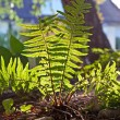 Stock Photo: Beautiful fern in dense forest in sunlight