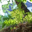 Beautiful fern in dense forest in sunlight — Stock Photo #6035903