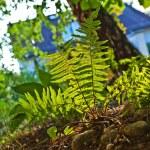Beautiful fern in dense forest in sunlight — Stock Photo #6035904