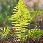 Beautiful fern in dense forest in sunlight — Stock Photo #6035960