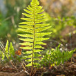 Beautiful fern in dense forest in sunlight — Stock Photo