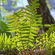 Beautiful fern in dense forest in sunlight — Stock Photo #6036236