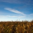 Corn field with electric tower — Stock fotografie #6083651