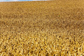 Corn field in summer in beautiful light — Stock Photo