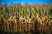 In the field with beautiul light and great sky grows indian corn — Stock Photo