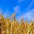 Golden corn field with blue sky - Stock Photo