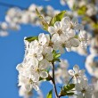 Close-up branch of bloom in spring — Stock Photo #6232729