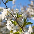 Close-up branch of bloom in spring — Stock Photo #6232740