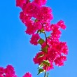 Beautiful red bougainvillea with blue sky - Stock Photo