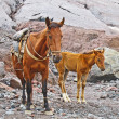Horses for transportation goods in the mount Kasbek area,, the h - Foto Stock
