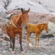 Horses for transportation goods in the mount Kasbek area,, the h - Stock fotografie