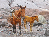 Horses for transportation goods in the mount Kasbek area,, the h — Stockfoto