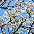 Close-up branch of bloom in spring — Stock Photo #6631894