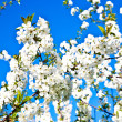 Close-up branch of bloom in spring — Stockfoto