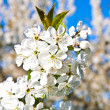 Close-up branch of bloom in spring — Stock Photo #6632049