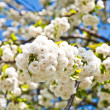 Close-up branch of bloom in spring — Stock Photo #6632126