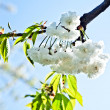 Close-up branch of bloom in spring — Stock Photo #6632267