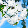Close-up branch of bloom in spring — Stock Photo #6634466