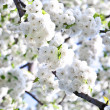 Close-up branch of bloom in spring — Stock Photo #6634558