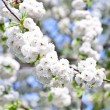 Close-up branch of bloom in spring — Stock Photo #6634665
