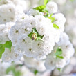 Stock Photo: Close-up branch of bloom in spring