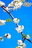 Close-up branch of bloom in spring — Stock Photo