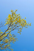 Blooming tree with blue sky in forest — Stock Photo