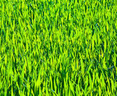 Green reed meadow with grass in wilderness — Stock Photo