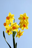 Yellow daffodils and blue sky — Stock Photo