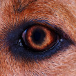 Iris detail on brown fur,dog eye in macro — Foto Stock