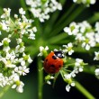 Ladybug on white flower,natural light — Stock Photo