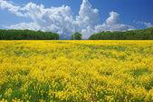 Flowering yellow field. — Stock Photo
