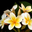 Frangipani — Stock Photo #5525142