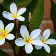 Royalty-Free Stock Photo: Frangipani