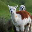 Two Adorable Alpacas - Stock Photo