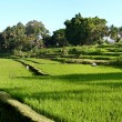 Stock Photo: Balinese Rice Terraces