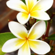 Frangipani (Plumeria) - Lizenzfreies Foto