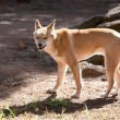 Dingo — Stock Photo #5529567