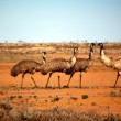 Stock Photo: Outback Emus